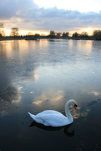 Swan in Bushy Park
