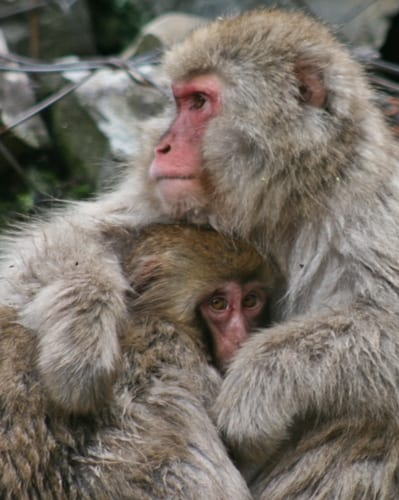 Monkey & Child the snow monkeys in Japan