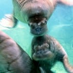 Photo of walruses in an aquarium in the top ten travel post roundup for 2010