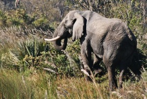 Elephant close to the runway in the Okavango Delta, Botswana in Africa near a safari reserve