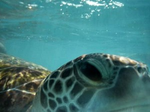 ethical turtle eye - Barbados Top Ten Ethical Destination