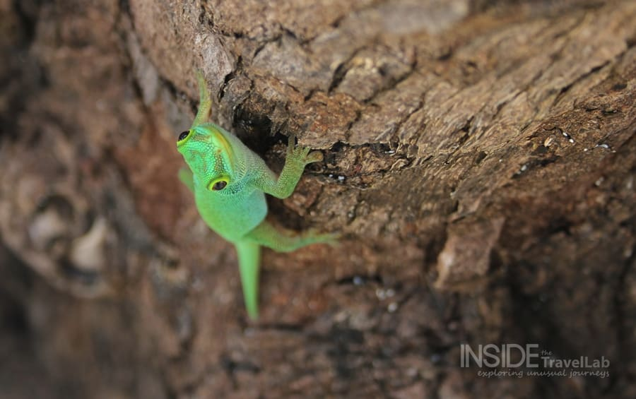 Desroches Lizard - photos in green