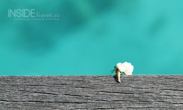Moving house crab in the Maldives