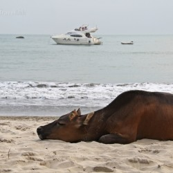 Buffalo and yachts hang out together on the beaches of Hong Kong - from @insidetravellab Kong
