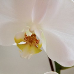 Upper House Orchid