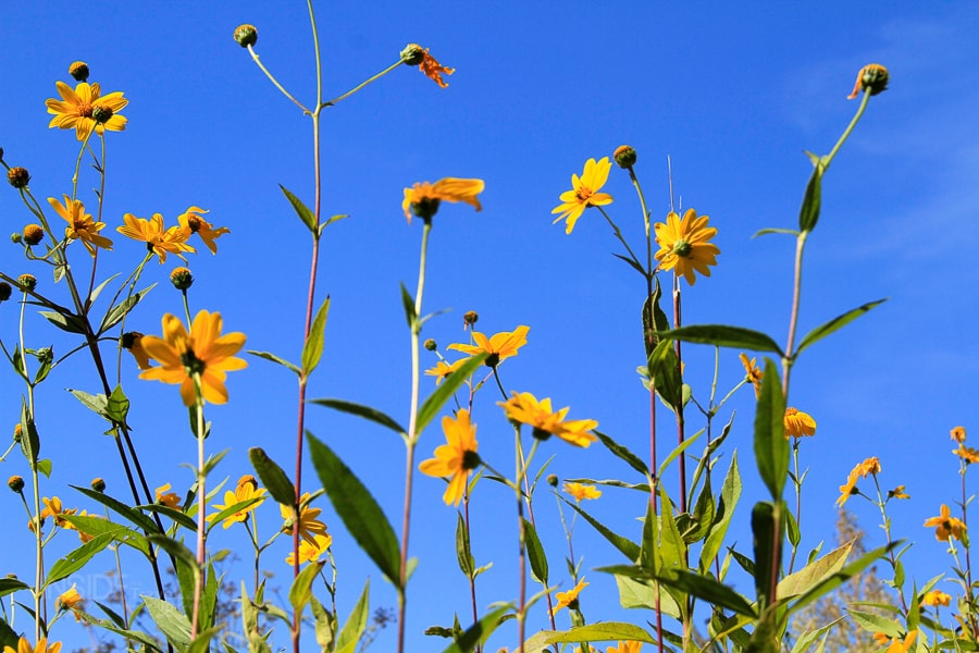 Walking Italy - Yellow flowers against blue sky