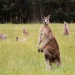Cute Kangaroo photos