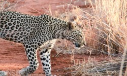 Leopard on safari at Makanyane Safari Lodge