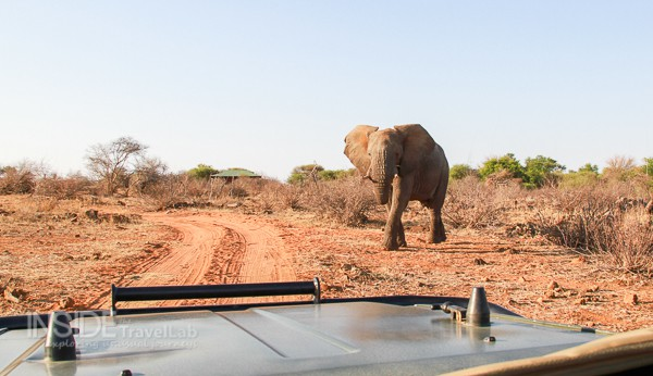 Elephant approaching in Madikwe