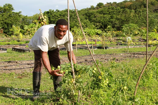 Gardening in Antigua Galley Bay