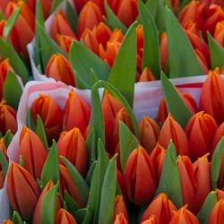 Fresh tulips for sale in Utrecht