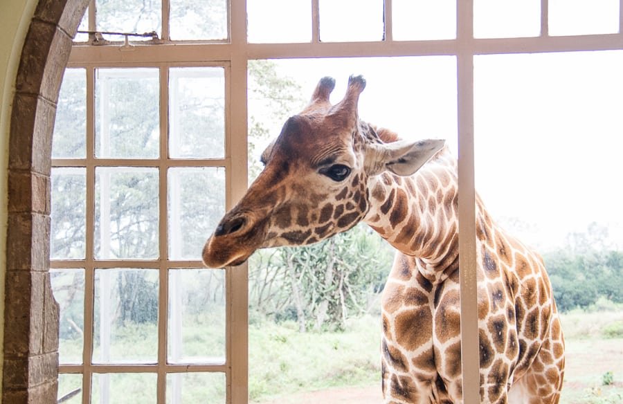 Giraffe through window at Giraffe Manor Kenya from @insidetravellab