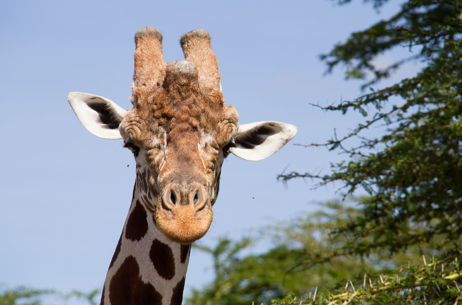 Giraffe on safari in Kenya via @insidetravellab