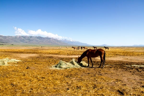 Looking for an unusual thing to do in the USA? Try your hand at riding wild horses In Nevada.