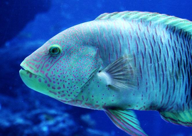 Japan - Okinawa - Blue fish in aquarium