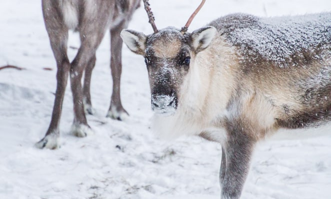 Finnish Reindeer by Day