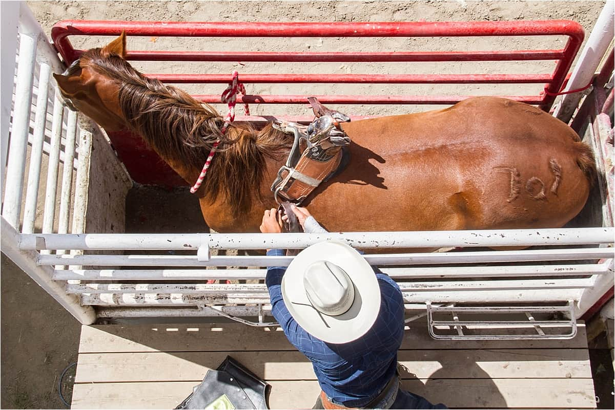 Cowboy and horse in the chutes at the rodeo