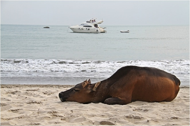 Looking for an unusual thing to do In Hong Kong? Chill at the beach with the buffalo!