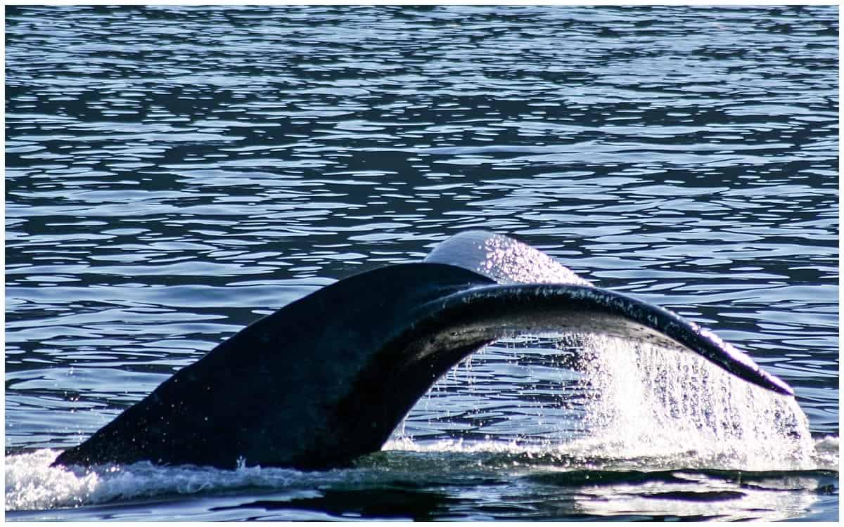Humpback whale in Alaska Frederick Sound