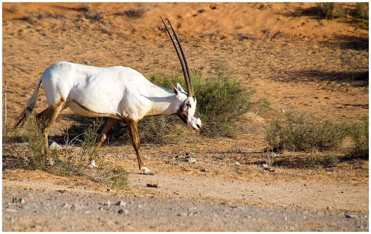 White oryx spotted at the Ritz Carlton Al Wadi