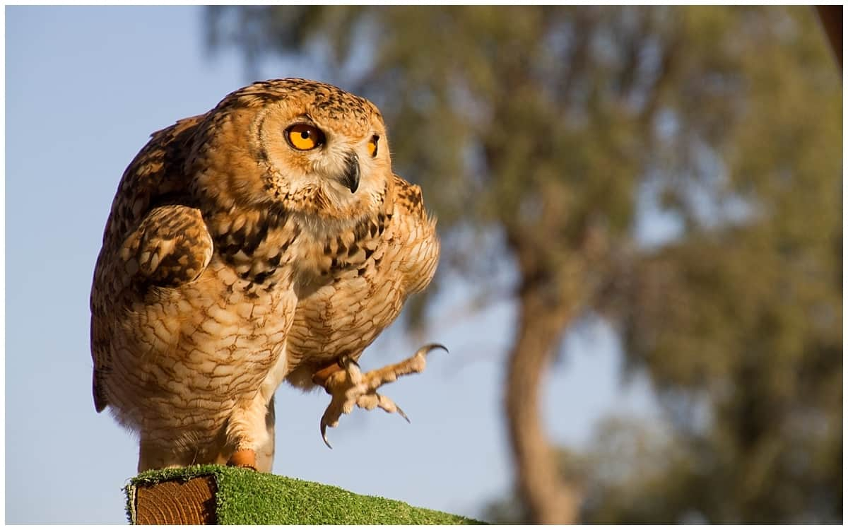 Falconry display in the AL Wadi Nature Reserve in Ras AL Khaimah