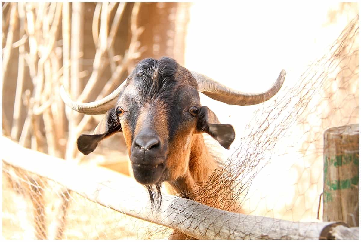 Goat in the Atlas Mountains of Morocco