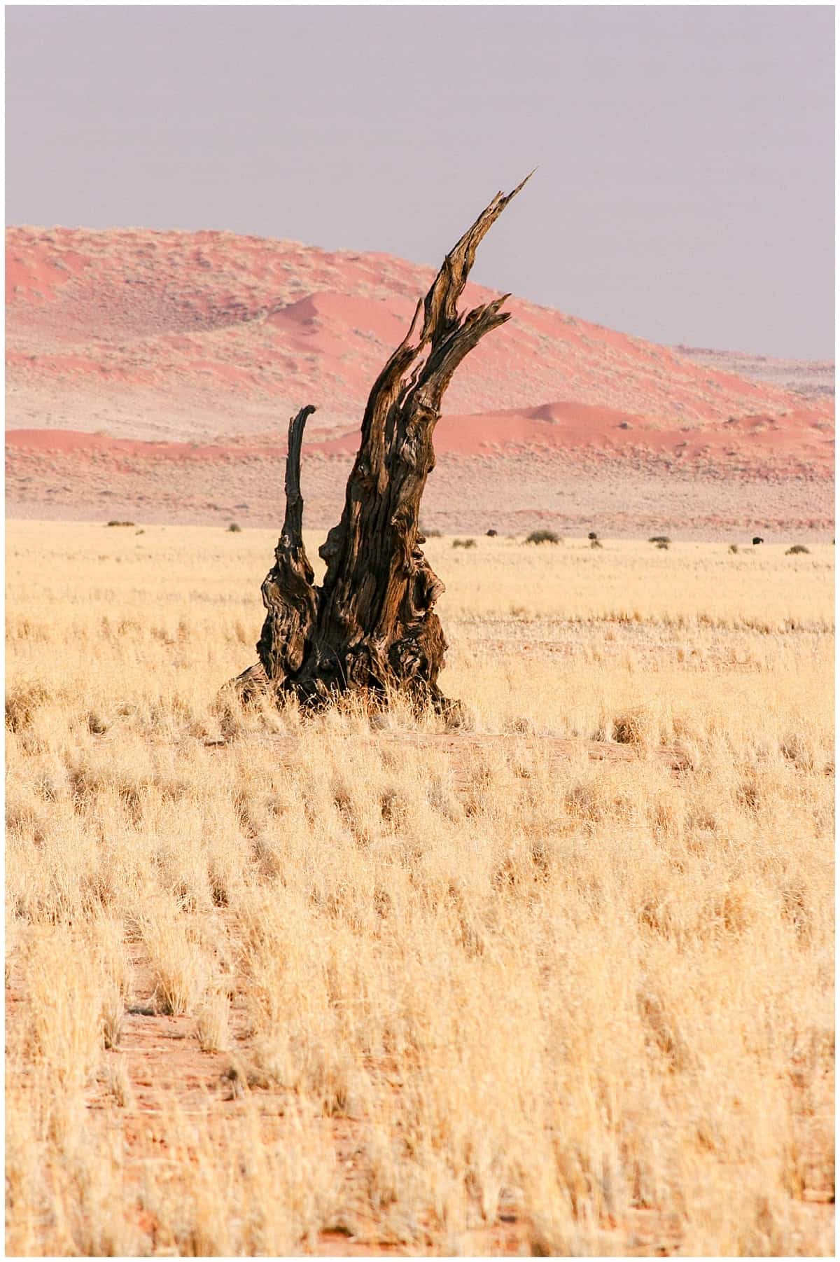 Dead tree in the grass near Namibia in the world's oldest desert