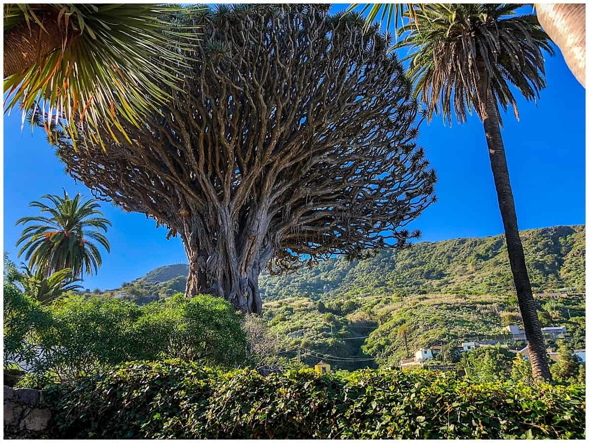Unusual things to do in Tenerife - Ancient Dragon Tree