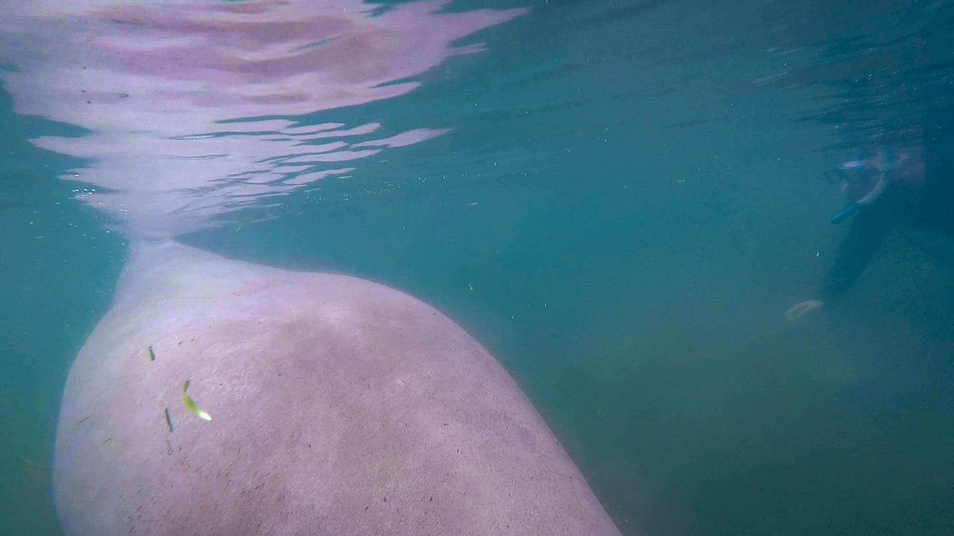 Swimming with manatees in Florida's Crystal River