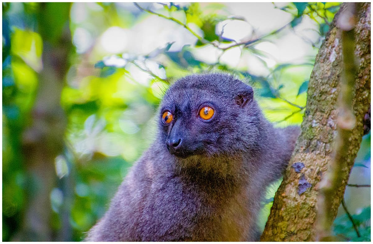Lemur in Madagascar looking at the camera on a tree branch