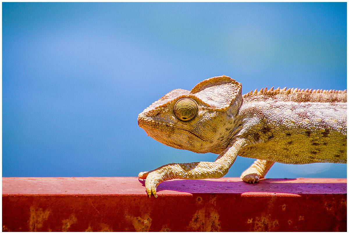 Chameleon in Diego Suarez Madagascar climbing in front of the ocean