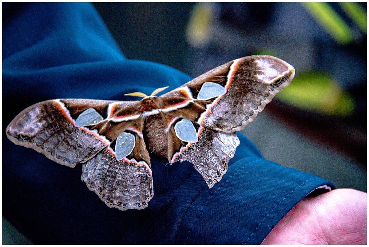 Giant moth in the Ecuador Cloud Forest