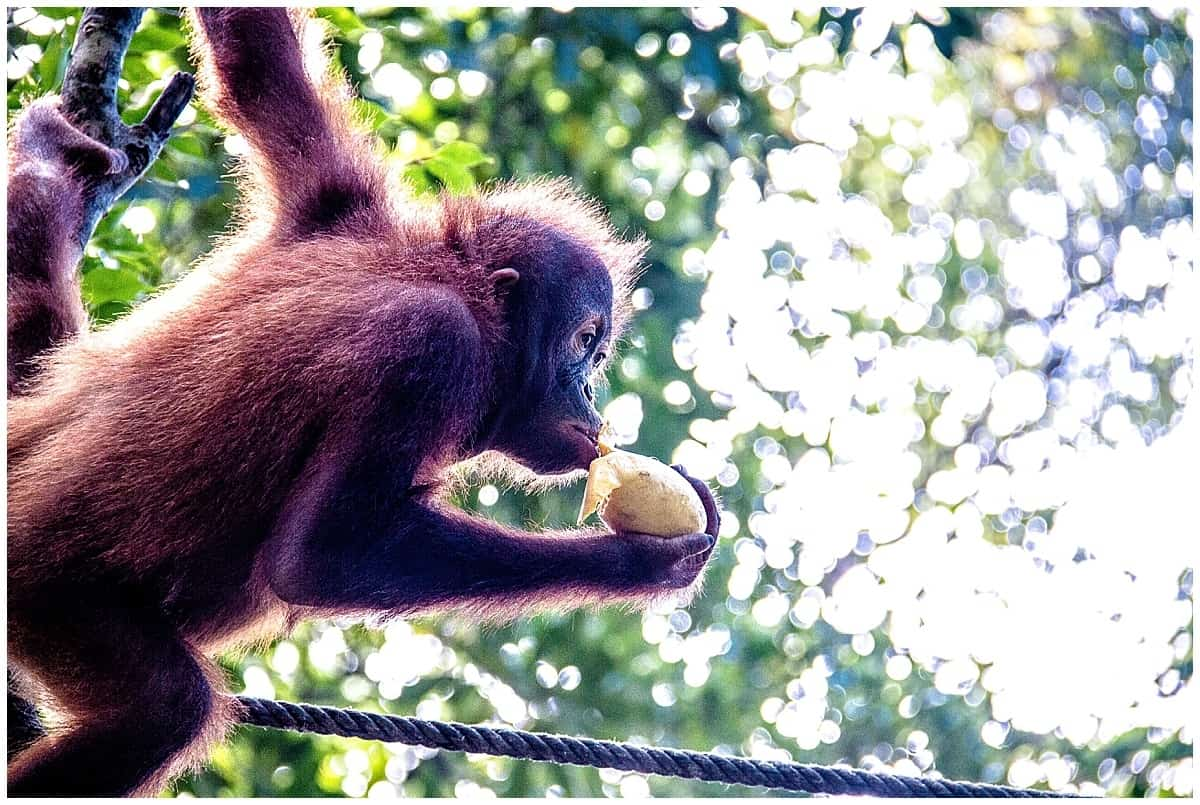 Orangutan eating fruit and swinging from a branch in Sabah Malaysian Borneo
