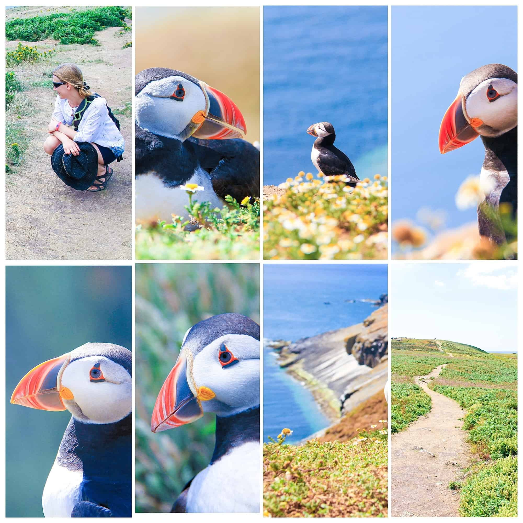 Puffins on Skomer Island in Pembrokeshire