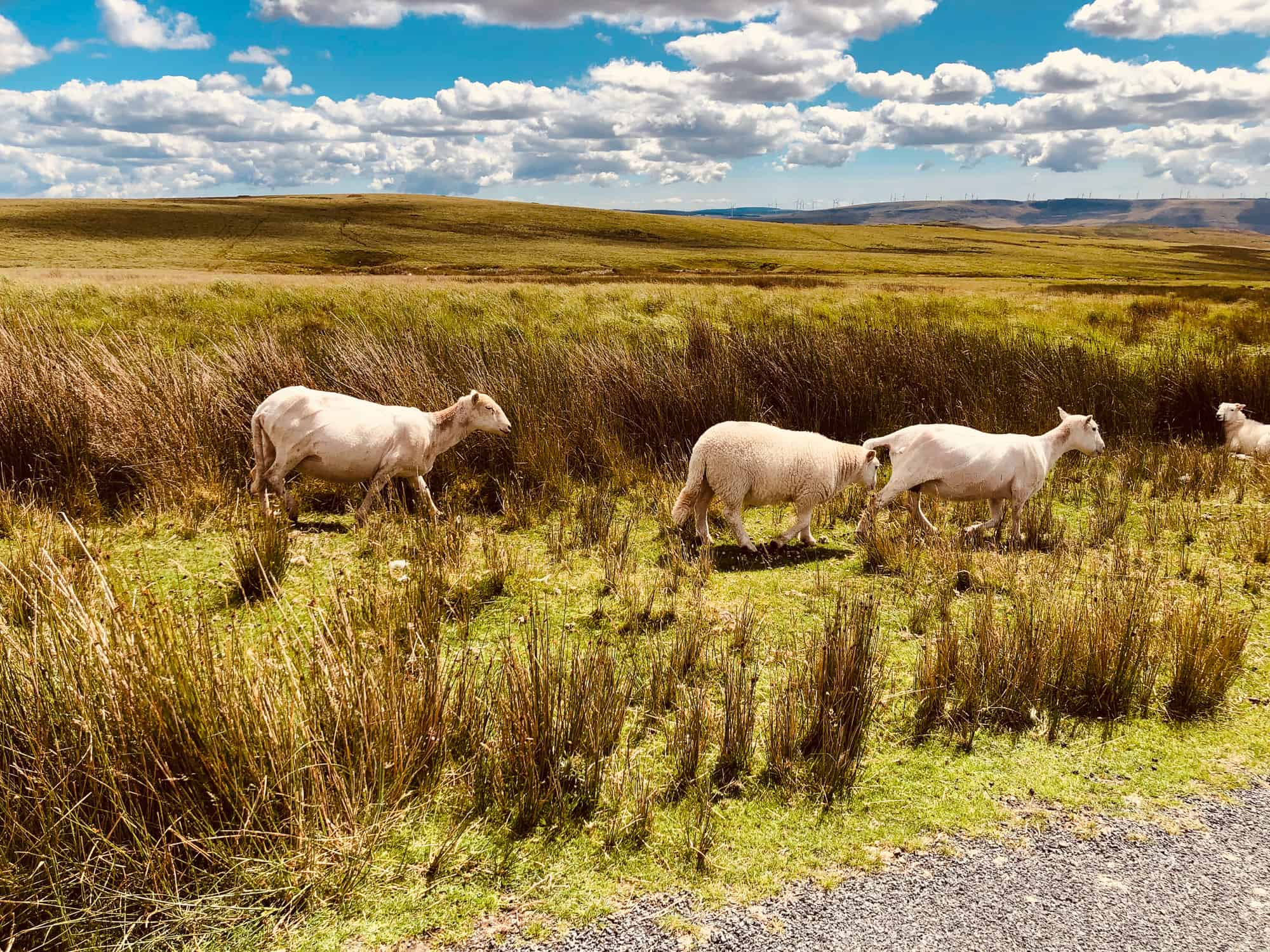 Wales - Brecons - Sheep on the road - wales Road trip itinerary