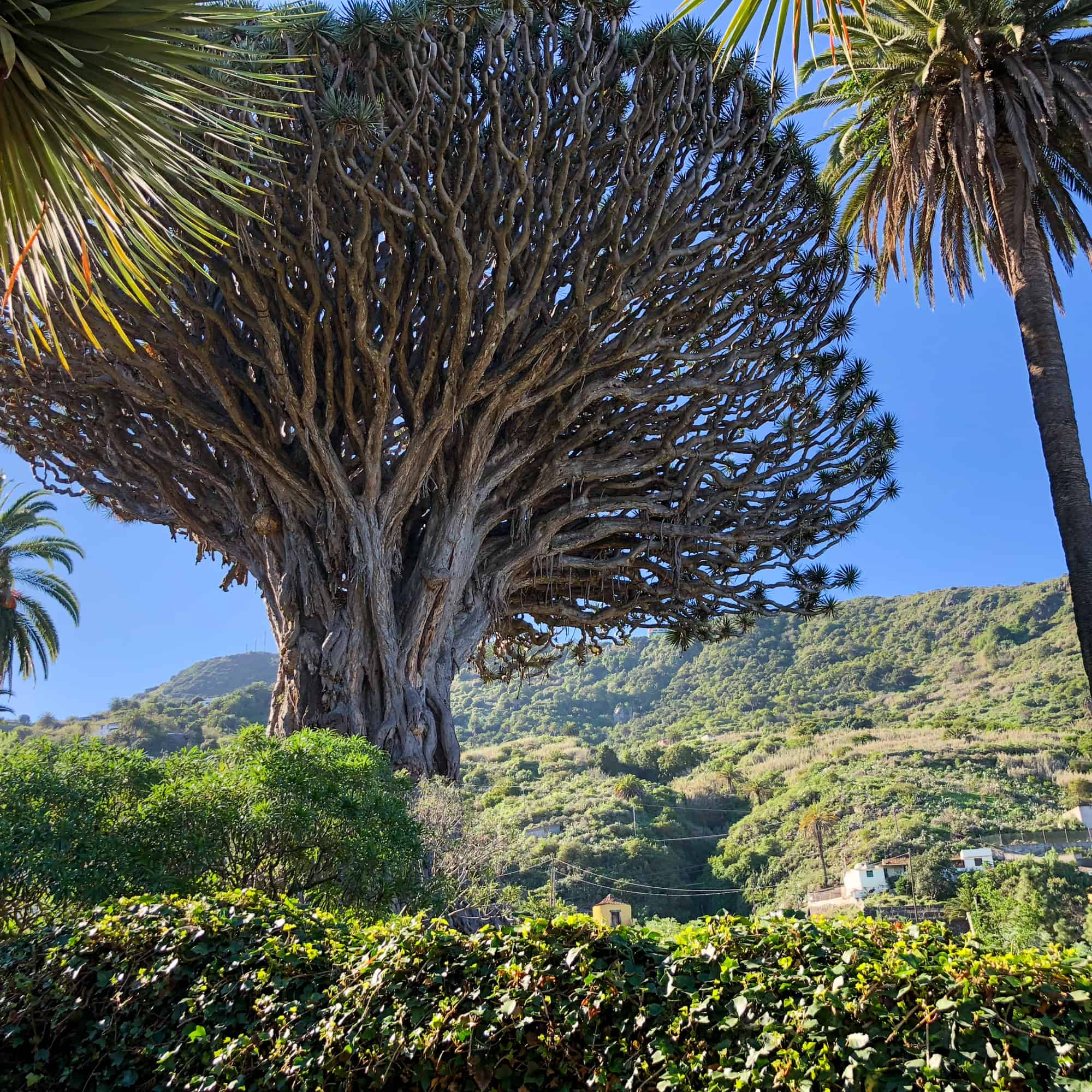 Questions about Spain -ancient Drago tree in Tenerife, Canary Islands