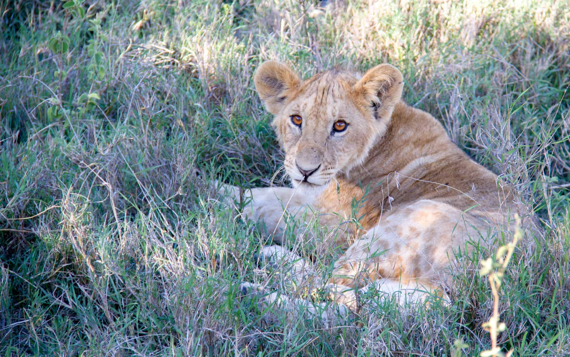 Young lion in the grass for Kenya Bucket List and Kenya Hidden Gems article